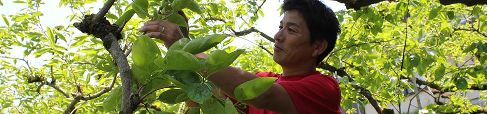 辰谷農園の柿とは